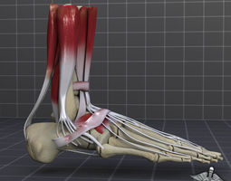 3D Human Foot Bone and Muscle Structure