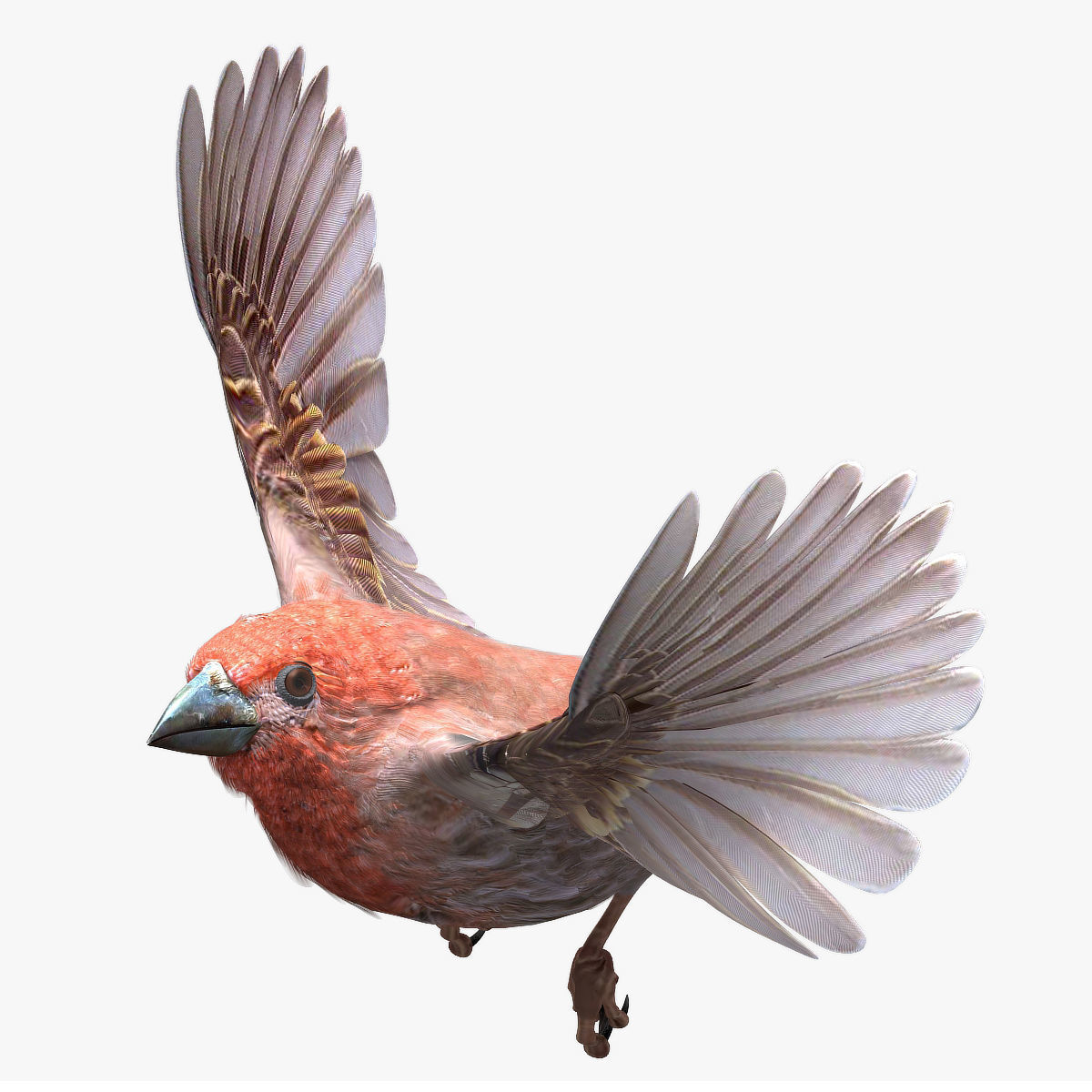 House finch - rigged - animated