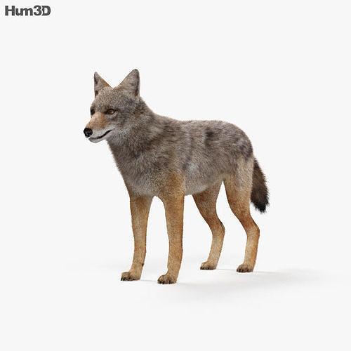 golden jackal hd 3d model max obj mtl 3ds fbx c4d lwo lw lws 1