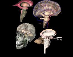 Human Brain highly complex 203 parts 3D Model