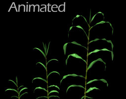 Corn Plant Growth 3D Model