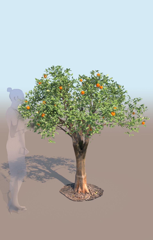 Citrus reticulata mandarin tree young