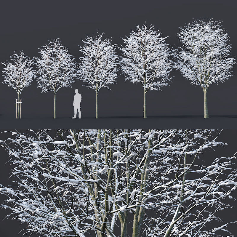 Tilia europaea Nr 5 H4-6m Five winter tree set