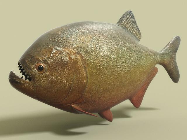 ... piranha fish 3d model detailed 3d model of the dangerous piranha fish
