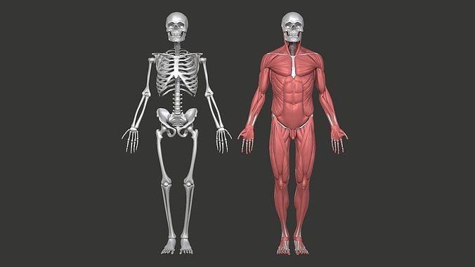 diagram of male skeleton anatomy model male skull skeleton and muscular 3d 1  anatomy model male skull skeleton and