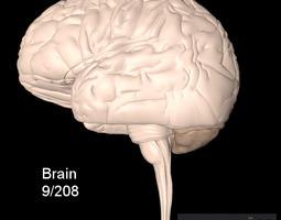 human brain 3d model fbx
