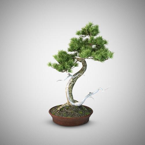 Bonsai tree 43D model