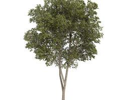 Austrian oak Quercus cerris 3D Model