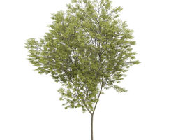 3D Common beech 2