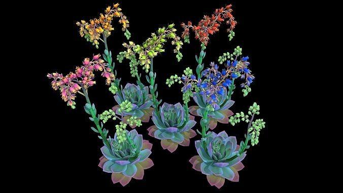 Flower Echeveria