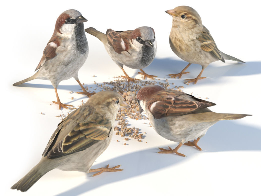 House Sparrow - feeding