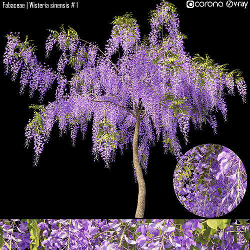 Fabaceae - Wisteria sinensis  1