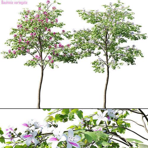 Bauhinia variegata  1