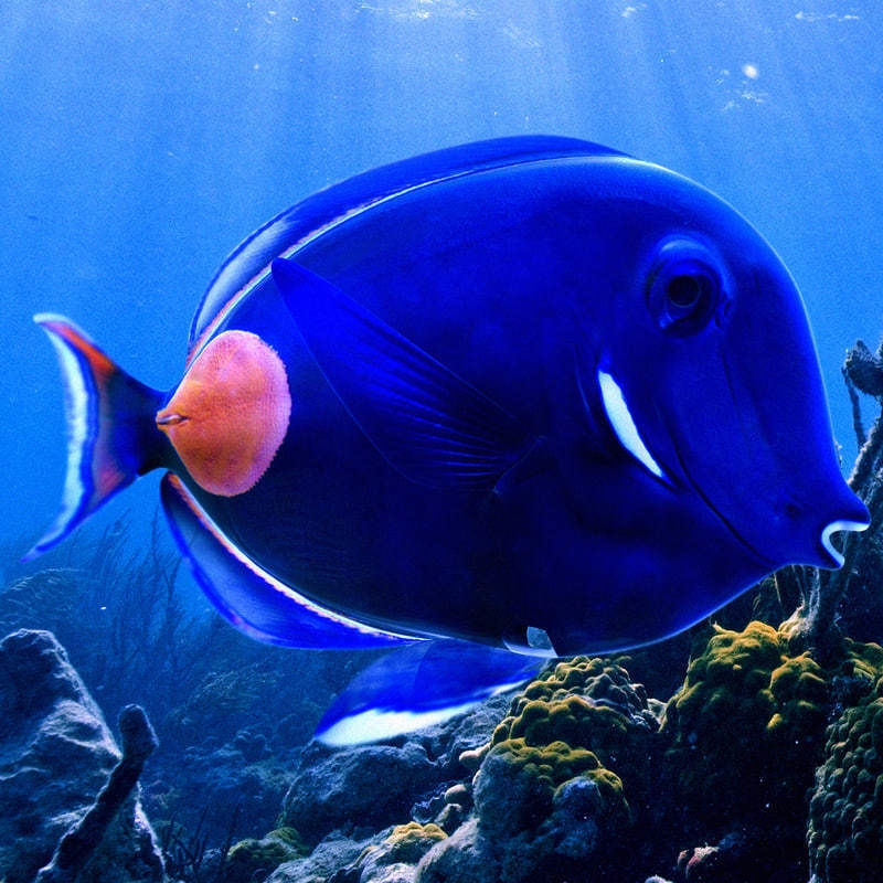 Achilles Tang Tropical Fish