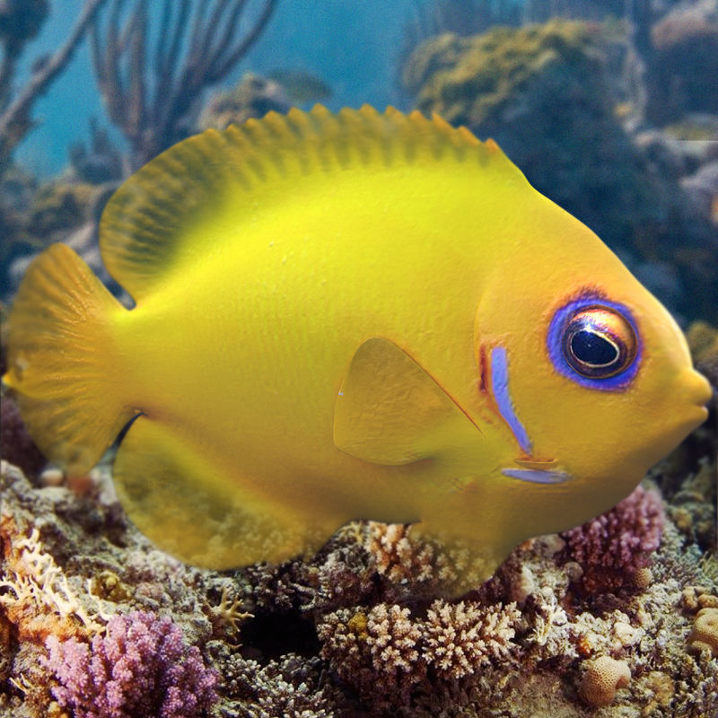 Lemon Lauwiliwili Reef fish