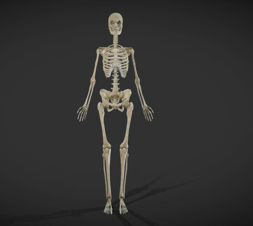 Female Skeletal System Skeleton