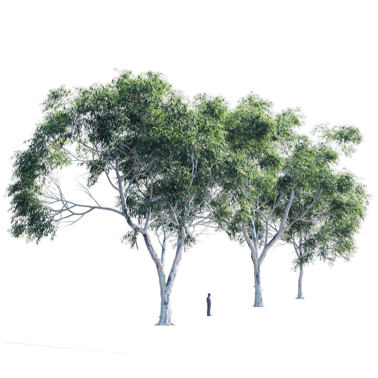 Eucalyptus collection 2