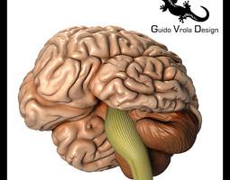 Accurate human brain 3D model