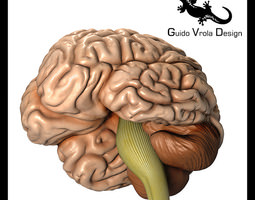 Accurate human brain 3D Model