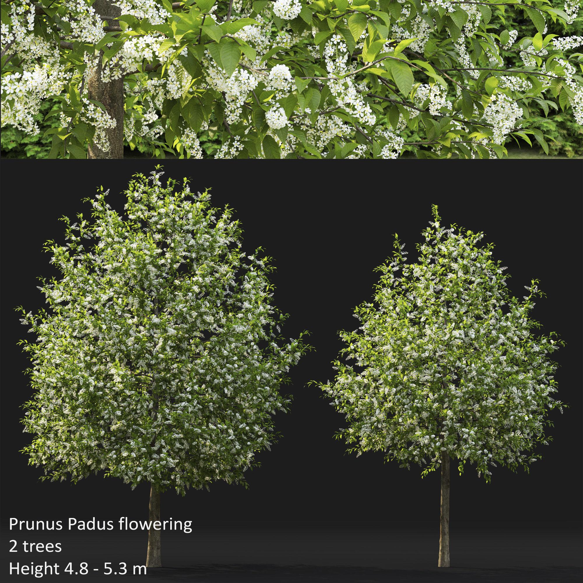 Prunus Padus 04