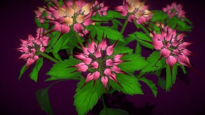 Flower Physoplexis Omosa