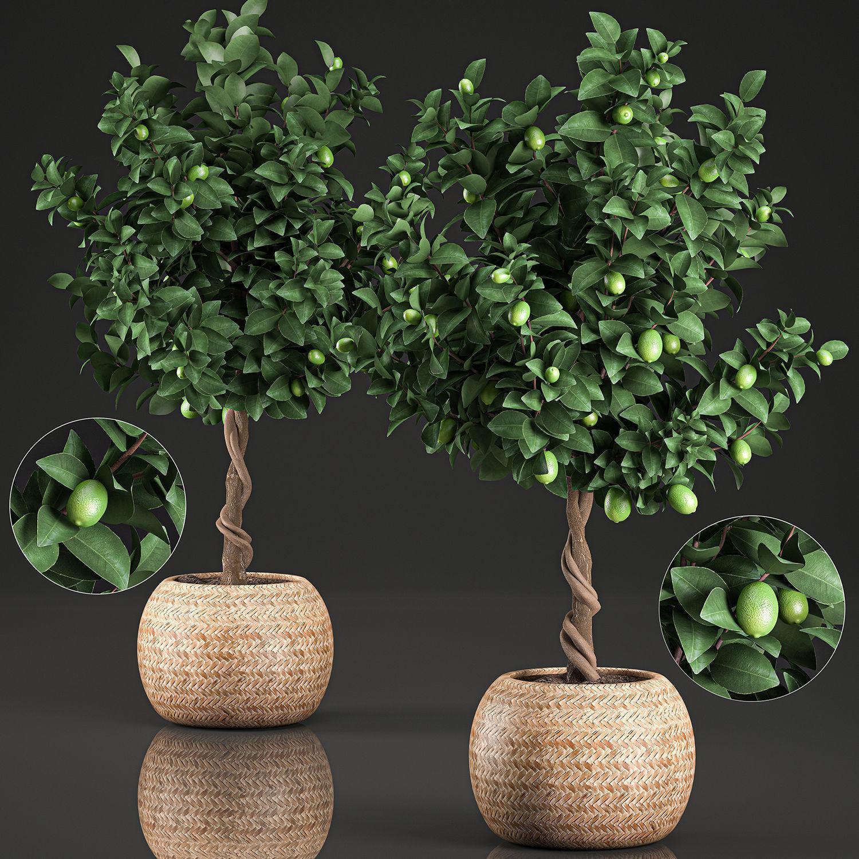Lemon Tree for the interior in basket 637