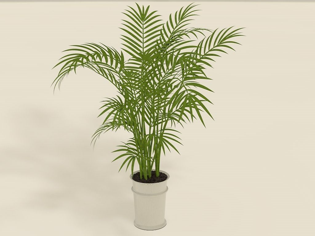 Areca palm plant pot free 3d model 3ds fbx c4d for Pictures of areca palm plants