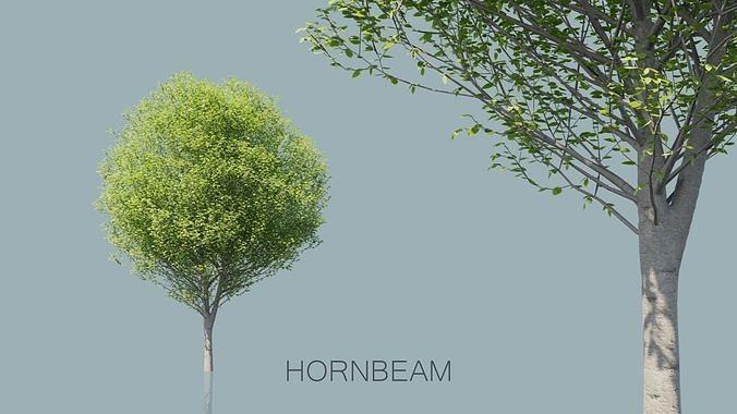 European Hornbeam Trees