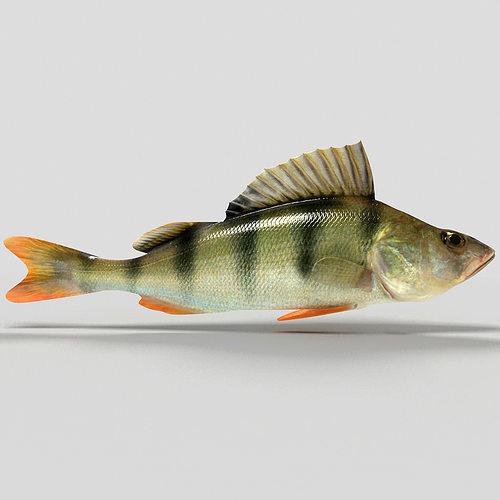 perch fish 3d model max obj mtl c4d 1