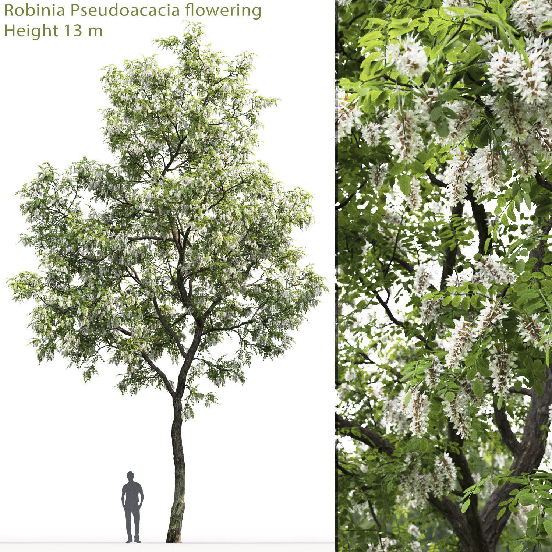 Robinia pseudoacacia 02 H13m