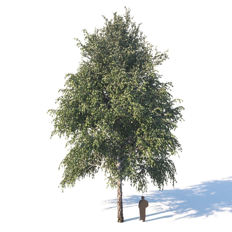 White birch 14 meters