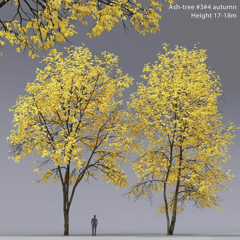 Ash-tree 03 04 autumn H17 18m