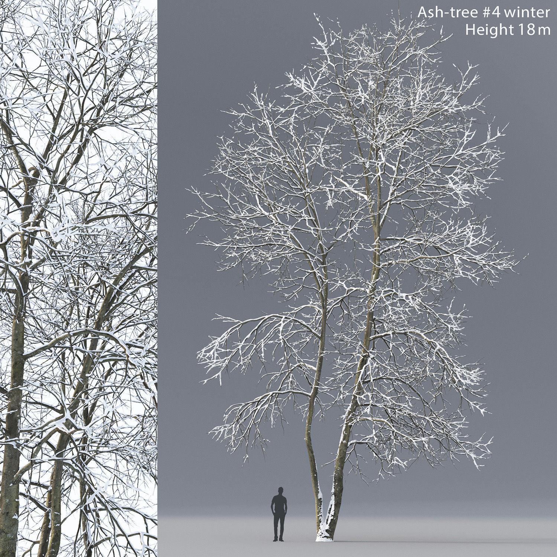 Ash-tree 04 winter H18m