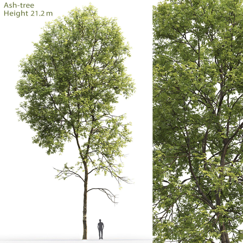 Ash-tree 05 H21m