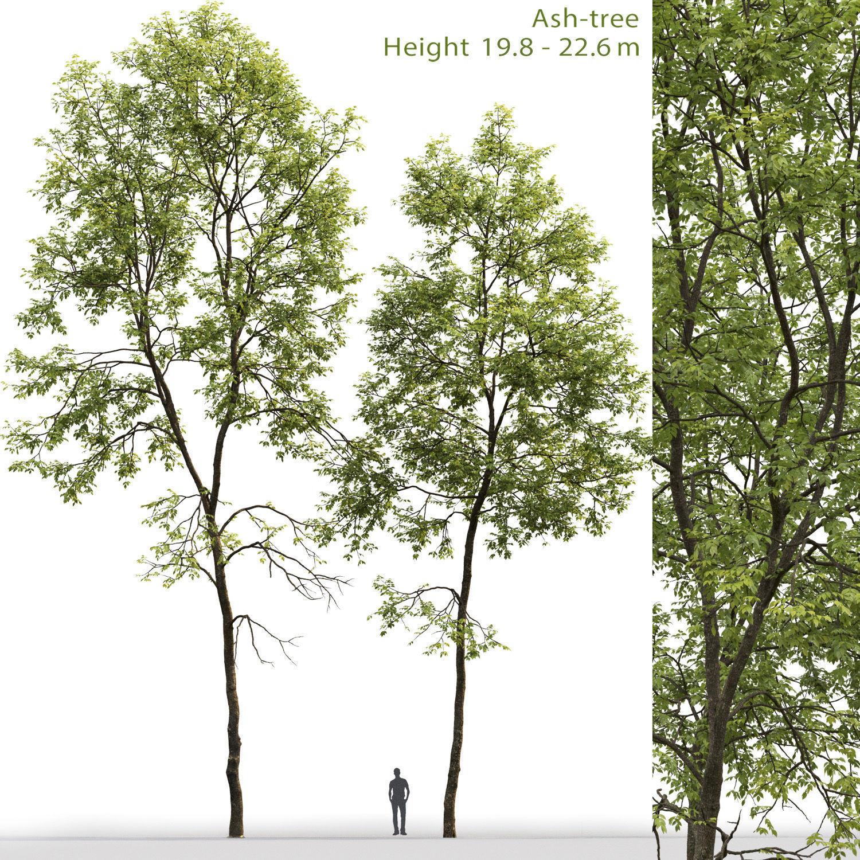 Ash-tree 06 H19  22m