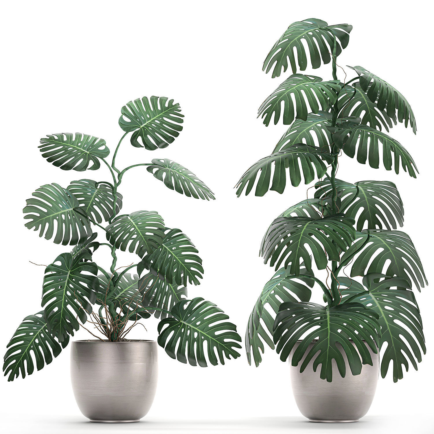 Monstera in a  pot for the interior 692