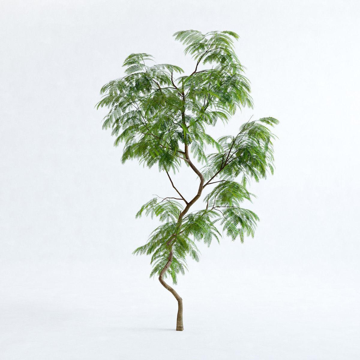 Everfresh Tree 2M - Cojoba arborea var angustifolia
