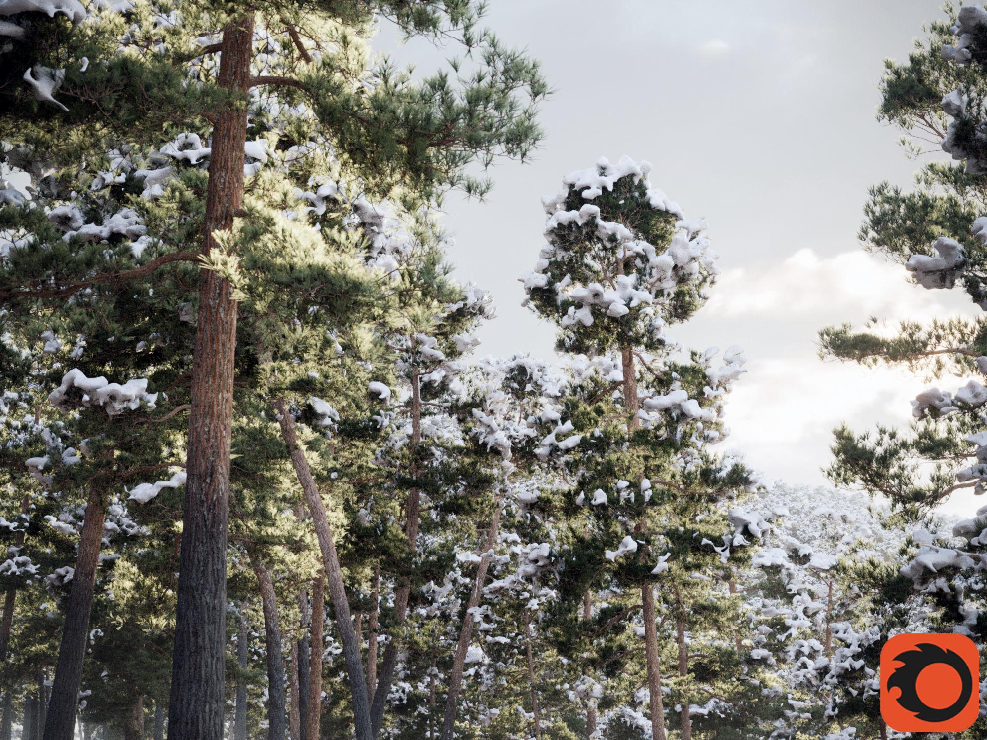 Pinus Syluestriformis Snow Pack of 12 Pines Corona Render