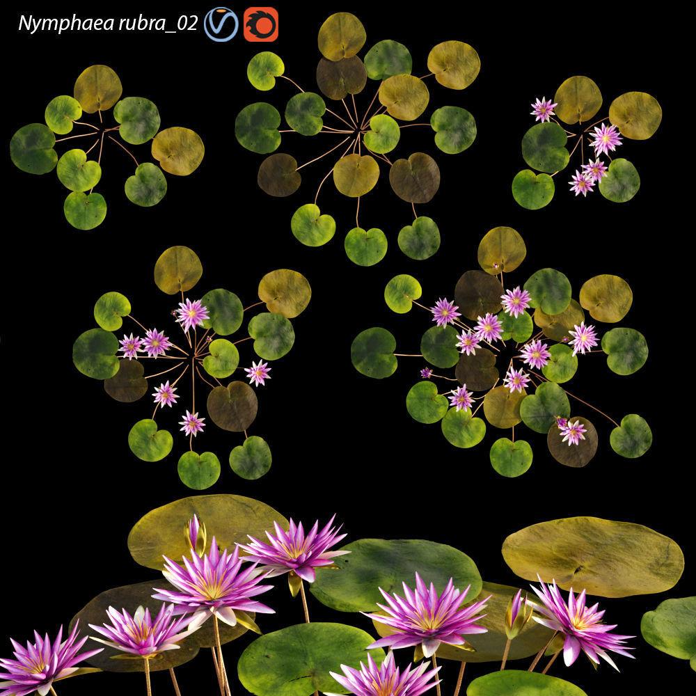 Nymphaea rubra - Water lily -Velutha ambal 02
