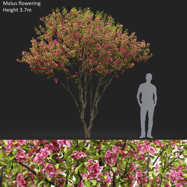 Malus flowering 06