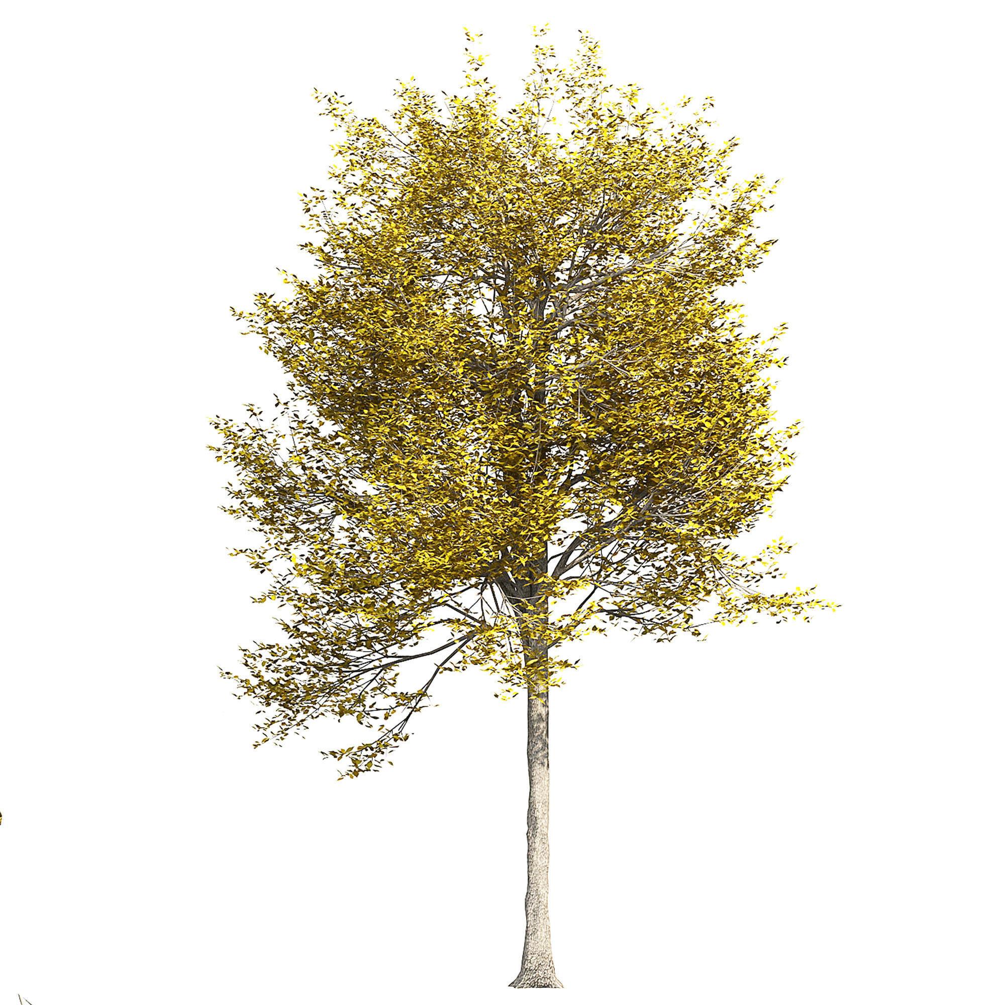 Ash-tree 5