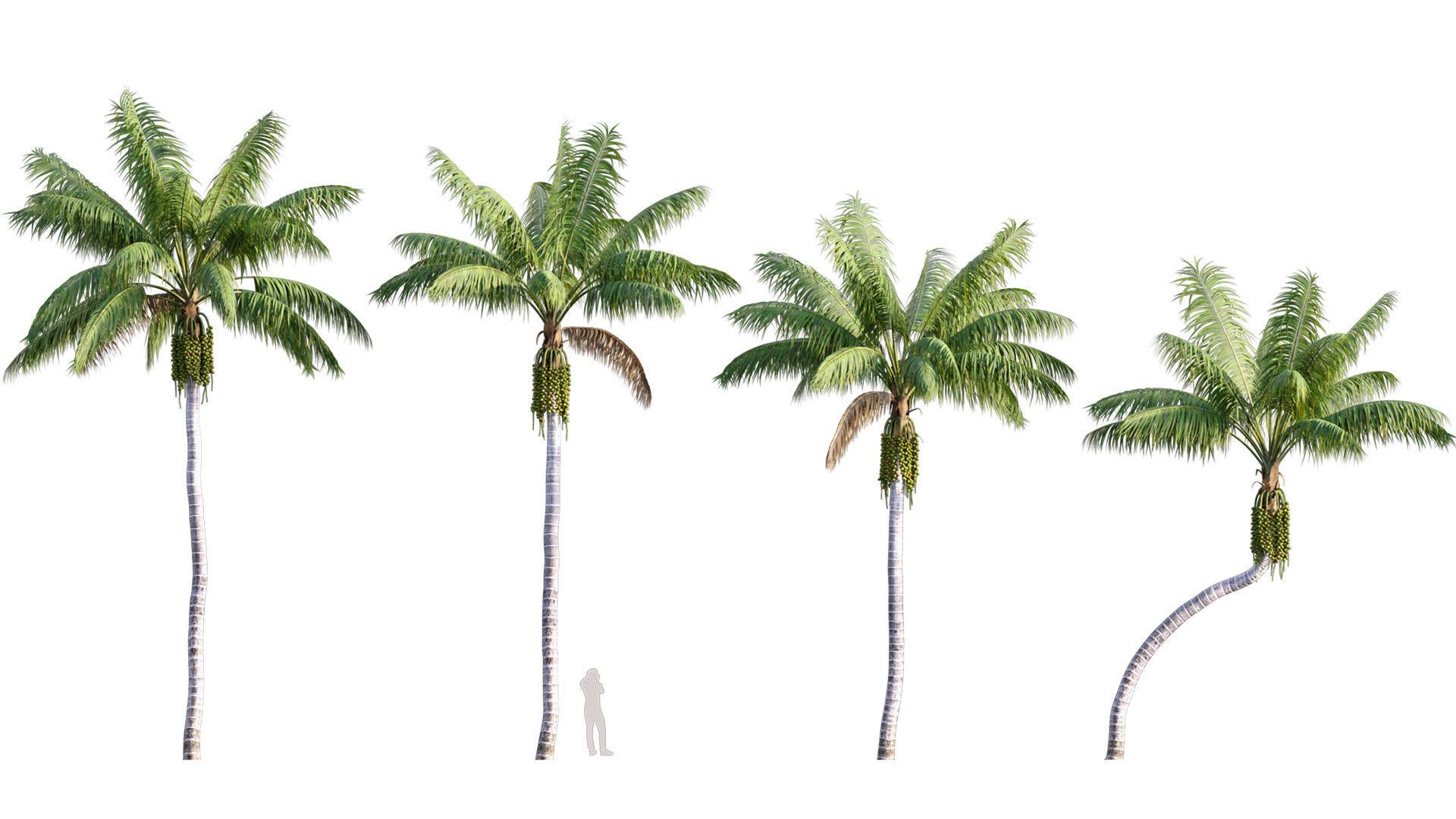 Howea forsteriana Mature - Kentia Palm Mature - 01