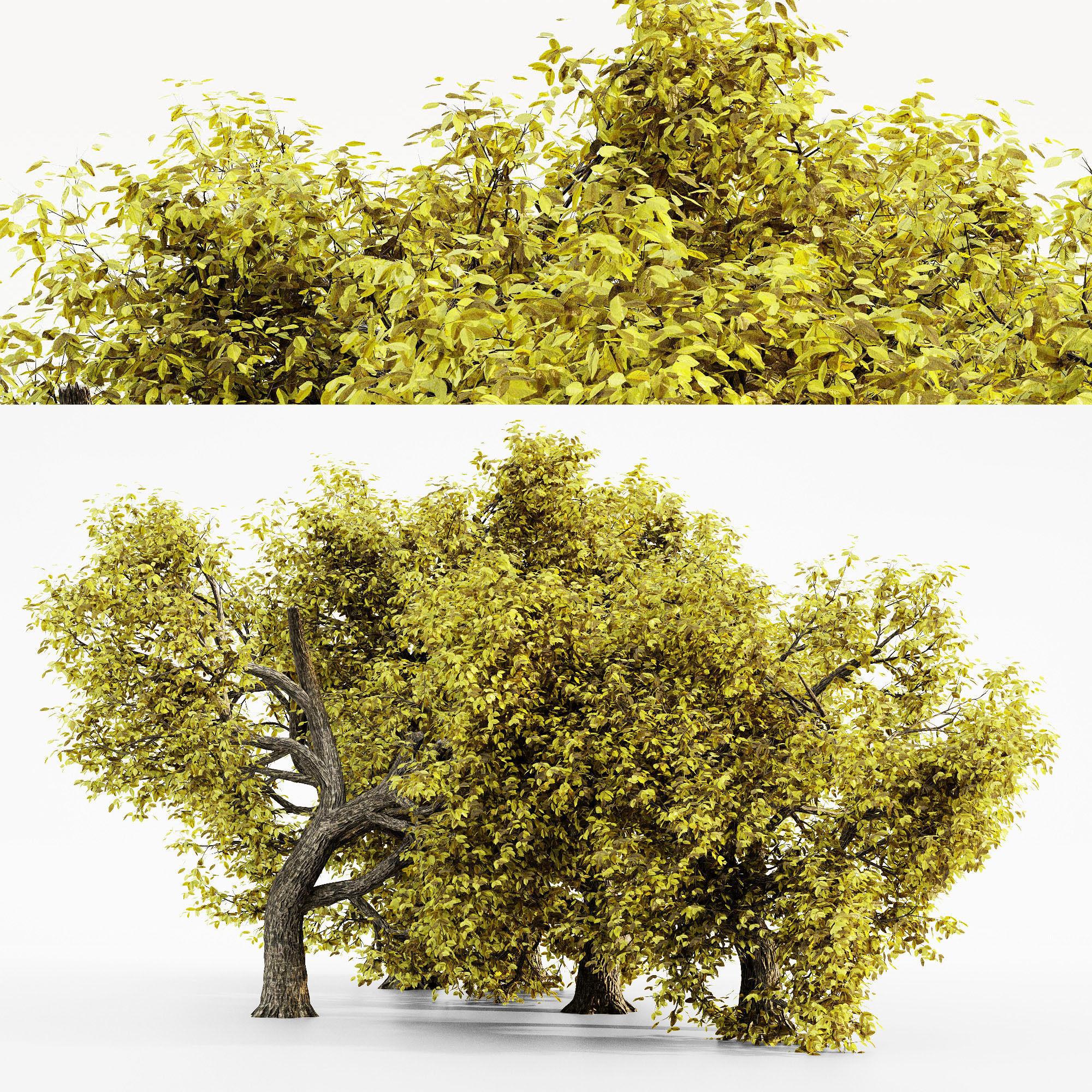 Amur Cork  Fall tree collection