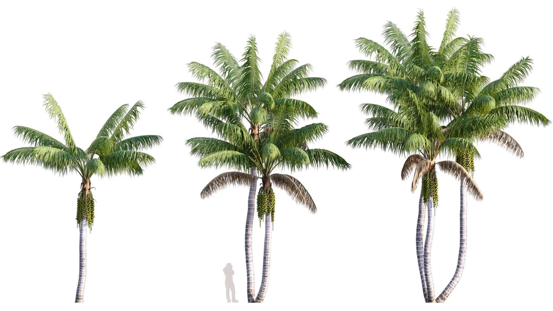 Howea forsteriana Mature - Kentia Palm Mature - 02