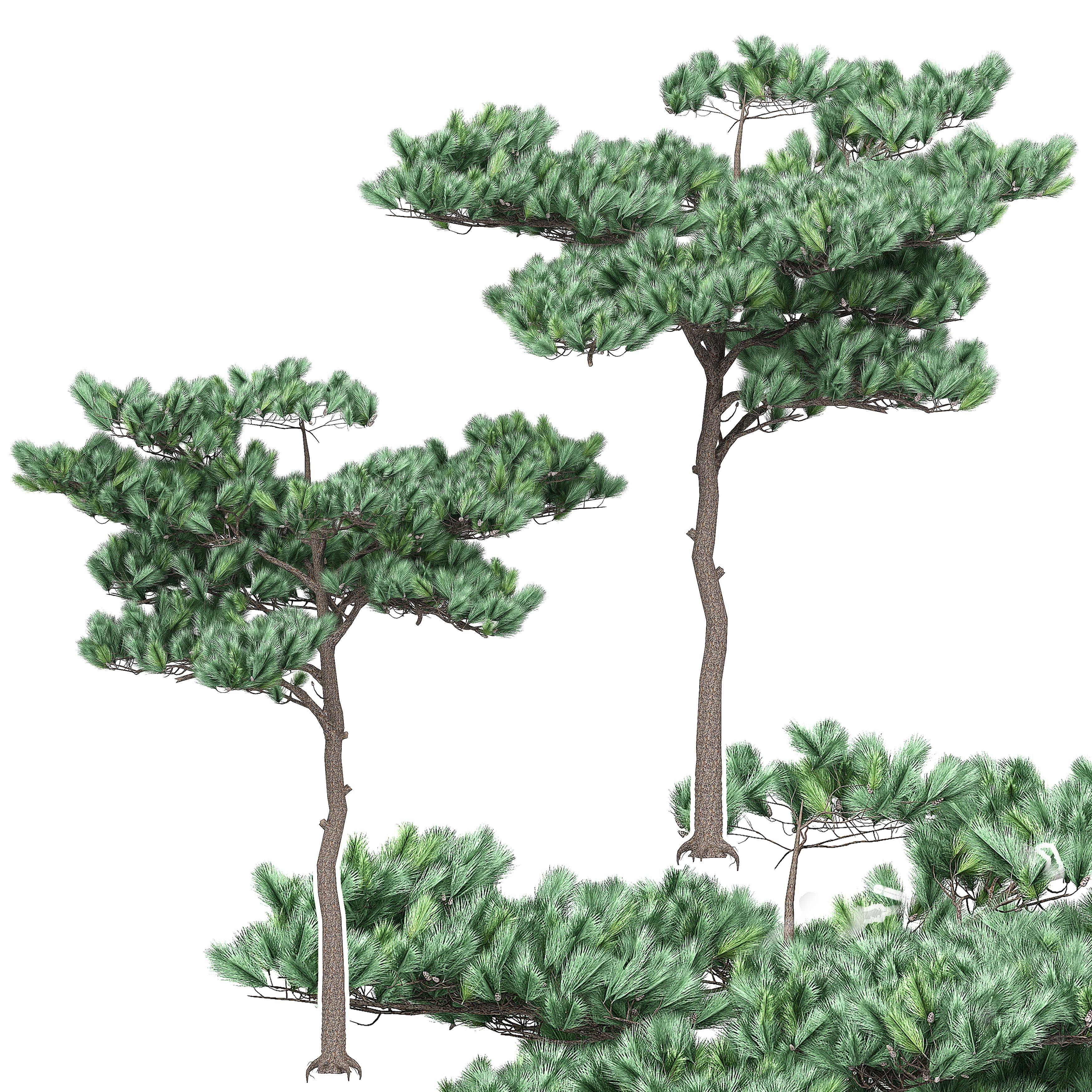 Pine 4