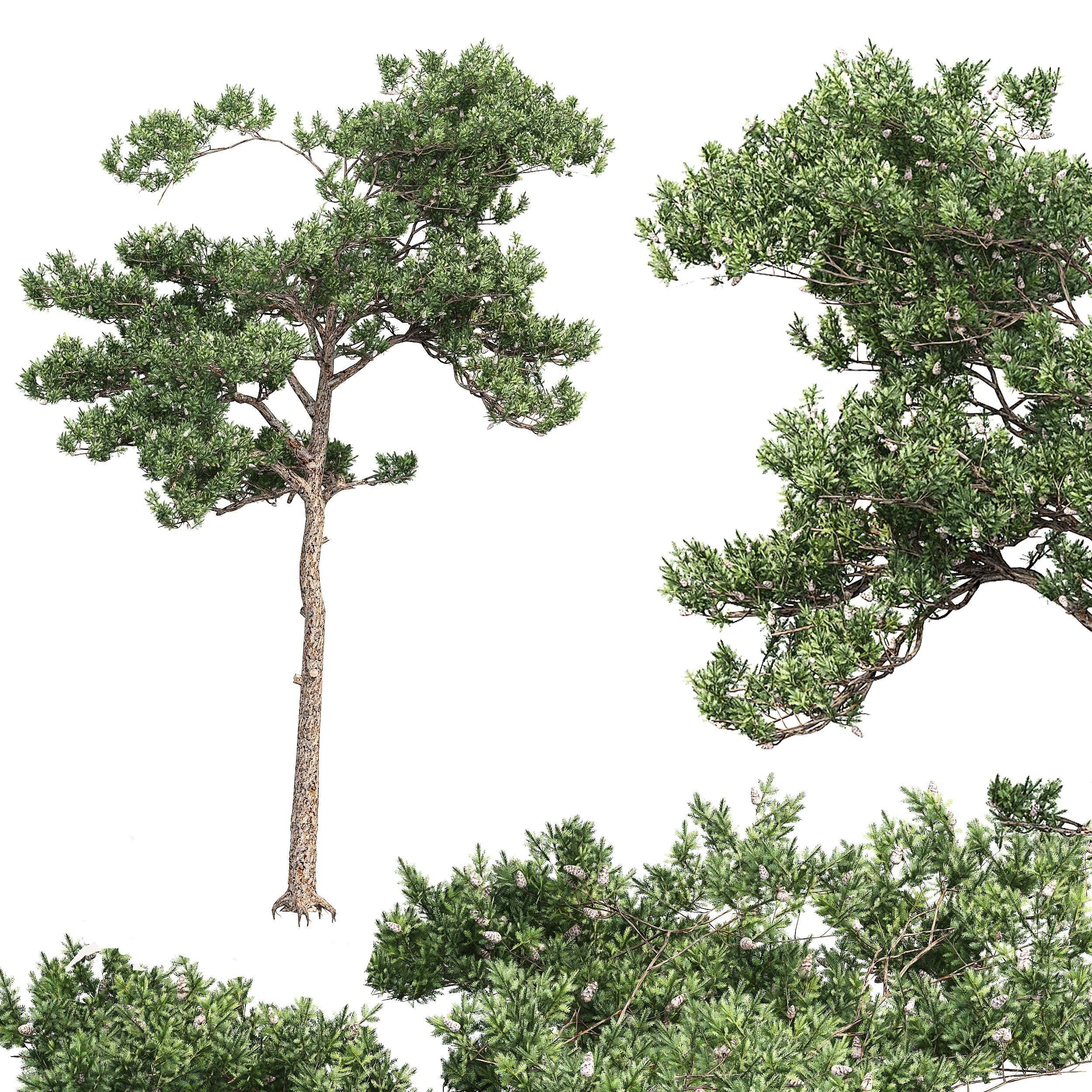 Pine 6