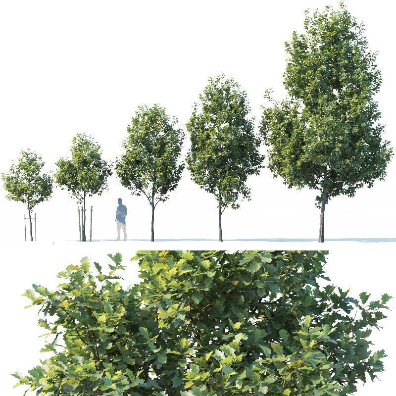Common oak Nr1 H3-9m Five tree set