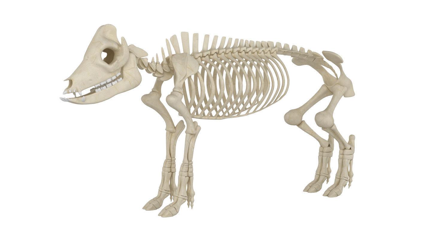 Pig Skeleton