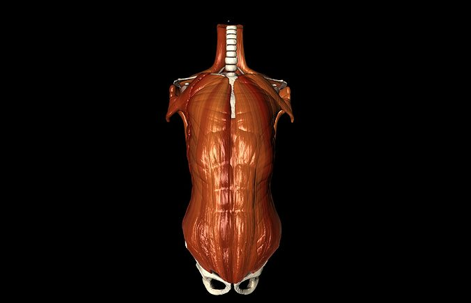 human thorax medically accurate with muscles 3d model animated obj, Muscles