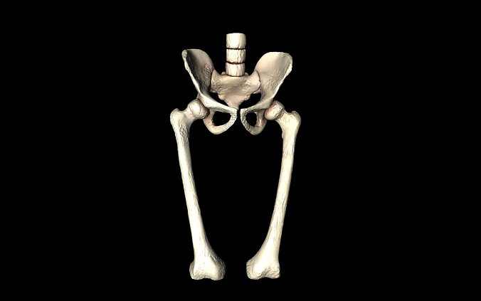 hip joint - hip bone sacrum femur - only bones medically accu, Skeleton